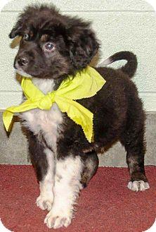 Border Collie Puppy for adoption in Ada, Oklahoma - ASPEN