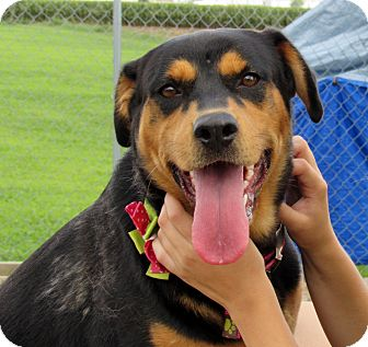Rottweiler Mix Dog for adoption in Grinnell, Iowa - Senorita