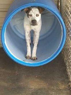 Labrador Retriever Mix Dog for adoption in Swainsboro, Georgia - Robin 16-587
