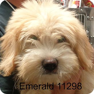 Bichon Frise/Airedale Terrier Mix Puppy for adoption in Greencastle, North Carolina - Emerald