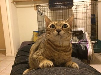 Calico Cat for adoption in Sunny Isles Beach, Florida - Willa