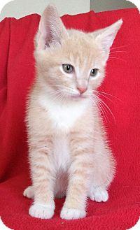 Domestic Shorthair Kitten for adoption in Meridian, Idaho - Tinsel
