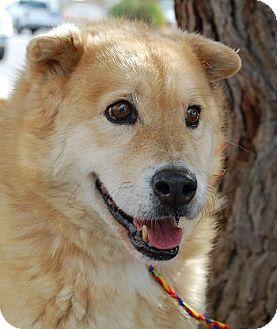 Shar Pei/Retriever (Unknown Type) Mix Dog for adoption in Las Vegas, Nevada - Ken