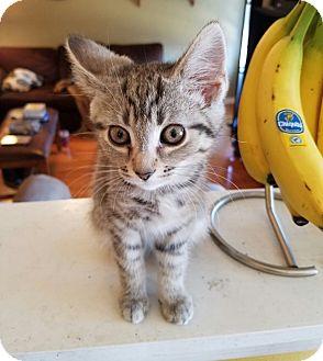 Domestic Shorthair Kitten for adoption in Hainesville, Illinois - Scarlett