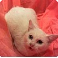 Domestic Shorthair Cat for adoption in oakland park, Florida - Ariel