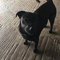 Adopt A Pet :: Pistol - Cuero, TX