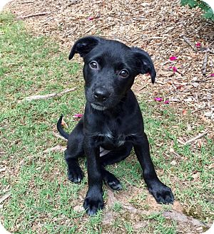 Terrier (Unknown Type, Medium)/Border Collie Mix Puppy for adoption in Alpharetta, Georgia - Keva