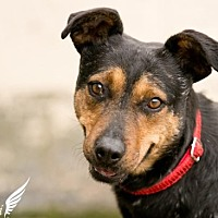 Adopt A Pet :: Jennifer- Currently in a Foster home - Roanoke, VA