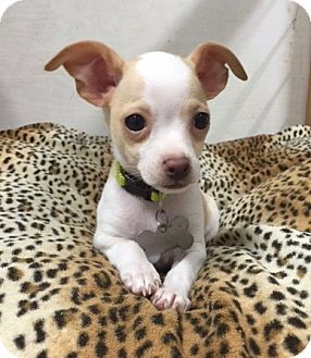 Chihuahua/Toy Fox Terrier Mix Puppy for adoption in Vacaville, California - Bop