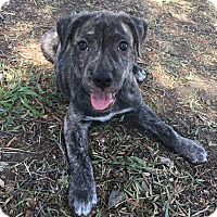 Adopt A Pet :: Rumor - San Diego, CA