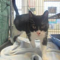 Domestic Shorthair/Domestic Shorthair Mix Cat for adoption in Belleville, Ontario - Nandor