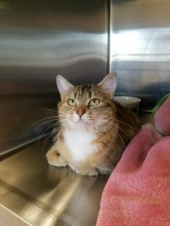 Domestic Shorthair/Domestic Shorthair Mix Cat for adoption in Chambersburg, Pennsylvania - Lucy