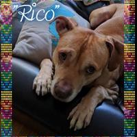 Vizsla/American Pit Bull Terrier Mix Dog for adoption in Lowell, Indiana - Rico