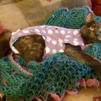 Domestic Shorthair/Domestic Shorthair Mix Cat for adoption in Wichita, Kansas - Saphira