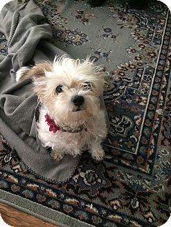Pekingese/Shih Tzu Mix Dog for adoption in Los Angeles, California - Arabella