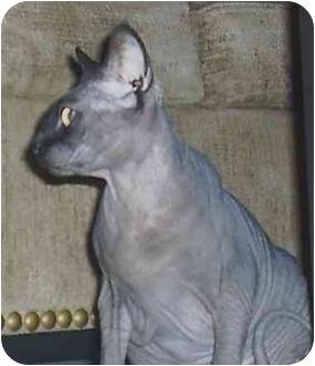 Sphynx Cat for adoption in Yorba Linda, California - Puppy