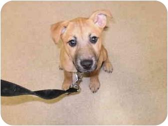 German Shepherd Dog/Labrador Retriever Mix Puppy for adoption in Elyria, Ohio - Chip