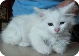 Domestic Longhair Kitten for adoption in North Judson, Indiana - Marsh