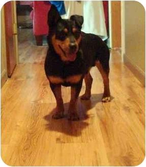 Rottweiler/Dachshund Mix Dog for adoption in Salem, Oregon - Ralphie