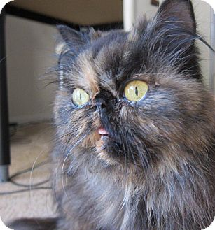 Persian Cat for adoption in Beverly Hills, California - Tory