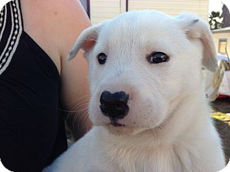 Shepherd (Unknown Type)/Golden Retriever Mix Puppy for adoption in Atascadero, California - June