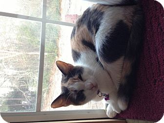 Calico Cat for adoption in Aiken, South Carolina - Snickers