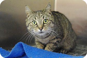 Domestic Shorthair Cat for adoption in Elyria, Ohio - Tess