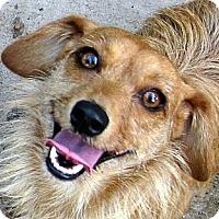 Adopt A Pet :: Candy - Oakley, CA