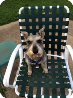 Schnauzer (Miniature) Dog for adoption in Allentown, Pennsylvania - King George