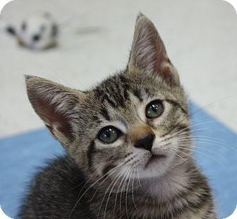 Domestic Shorthair Kitten for adoption in Virginia Beach, Virginia - Lilly, Liza and Lani