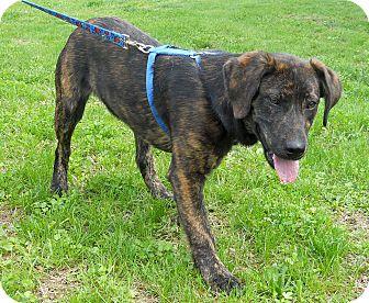 Labrador Retriever Mix Dog for adoption in Salem, New Hampshire - NEKO