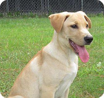 Labrador Retriever/Shepherd (Unknown Type) Mix Dog for adoption in Georgetown, South Carolina - Grumpy