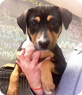 Hound (Unknown Type) Mix Puppy for adoption in Newburgh, Indiana - Daisy Dukes
