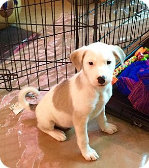 Collie/Pit Bull Terrier Mix Puppy for adoption in Chalfont, Pennsylvania - Paula