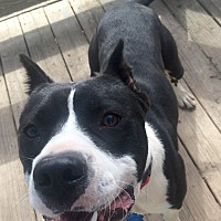 Pit Bull Terrier/American Pit Bull Terrier Mix Dog for adoption in Rochester, Michigan - Miles