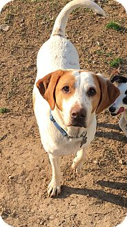 Hound (Unknown Type)/Hound (Unknown Type) Mix Dog for adoption in Richmond, Virginia - Charlie