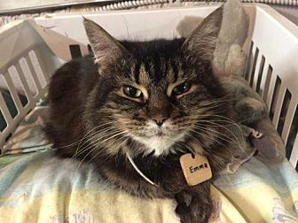Domestic Longhair Cat for adoption in Montreal, Quebec - Emma