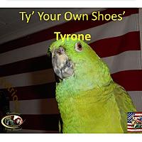 Adopt A Pet :: Yellow Nape Amazon Tyrone - Vancouver, WA