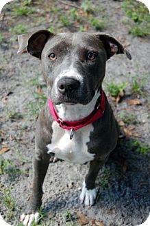 Pit Bull Terrier Mix Dog for adoption in Bradenton, Florida - Bella Girl