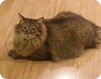 Domestic Longhair Cat for adoption in Novato, California - Abendigo
