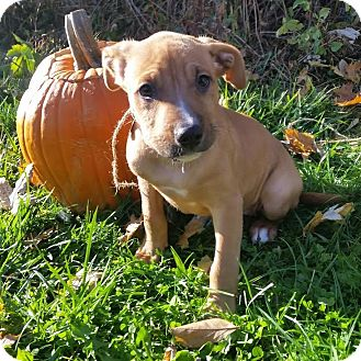 Shepherd (Unknown Type)/Terrier (Unknown Type, Medium) Mix Puppy for adoption in Detroit, Michigan - Cider-Adopted!