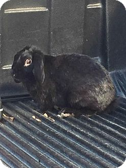 Lop, Holland Mix for adoption in Williston, Florida - Louise