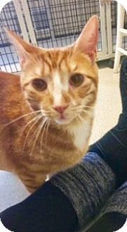Domestic Shorthair Cat for adoption in Victor, New York - Mott