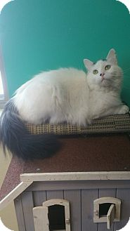 Domestic Longhair Cat for adoption in Brookings, South Dakota - Vance