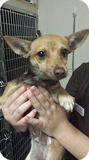 Chihuahua/Miniature Pinscher Mix Dog for adoption in Westminster, California - Umami