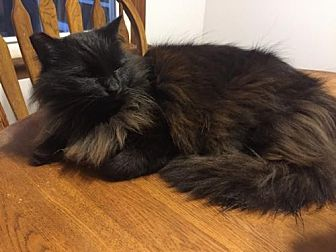 Domestic Longhair Cat for adoption in McConnells, South Carolina - Merlin