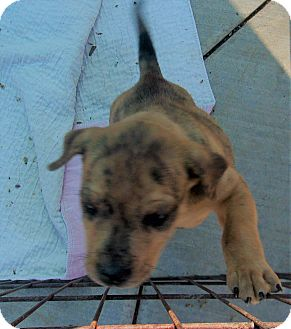 Catahoula Leopard Dog Mix Puppy for adoption in Jacksonville, Texas - Ramsey