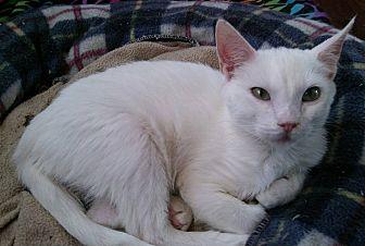 Domestic Shorthair Cat for adoption in Farmington, Arkansas - Mia