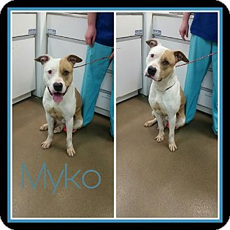 Pit Bull Terrier Mix Dog for adoption in Steger, Illinois - Myko