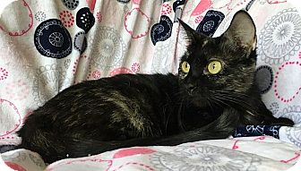Calico Cat for adoption in Tampa, Florida - Stardust